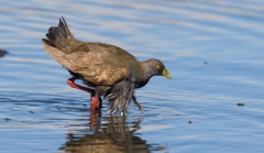 Black-tailed Native-hen (Image ID 34890)