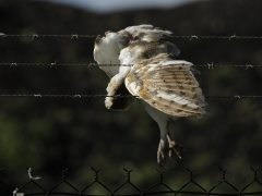 Barn Owl (Image ID 34701)