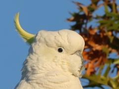 Sulphur-crested Cockatoo (Image ID 34810)