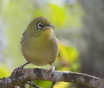 Slender-billed White-eye (Image ID 34901)