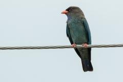 Dollarbird (Image ID 35075)