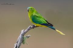 Orange-bellied Parrot (Image ID 34674)