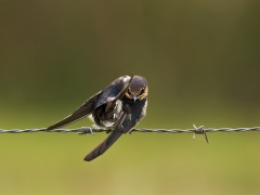 Welcome Swallow (Image ID 34682)