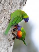 Rainbow Lorikeet (Image ID 35039)