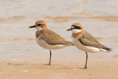 Greater Sand Plover (Image ID 34714)
