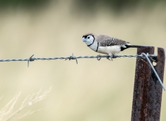 Double-barred Finch (Image ID 34730)