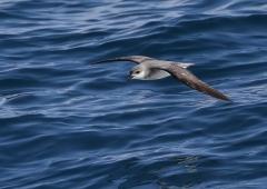 Black-winged Petrel (Image ID 34989)