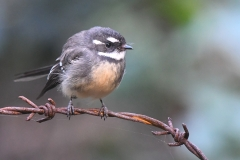 Grey Fantail (Image ID 34780)