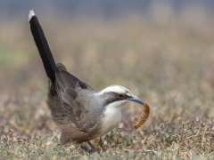 Grey-crowned Babbler (Image ID 35009)