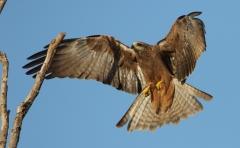 Black Kite (Image ID 34833)