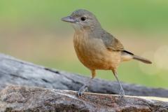 Little Shrike-thrush (Image ID 34807)