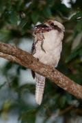 Laughing Kookaburra (Image ID 34813)