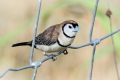 Double-barred Finch (Image ID 34919)