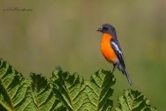Flame Robin (Image ID 34667)