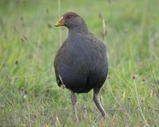 Tasmanian Native-hen (Image ID 34930)