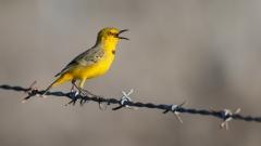 Yellow Chat (Image ID 35026)