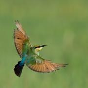 Rainbow Bee-eater (Image ID 34990)