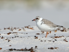 Hooded Plover (Image ID 34885)