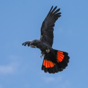 Red-tailed Black-Cockatoo (Image ID 34695)