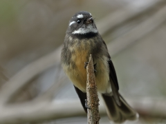 Grey Fantail (Image ID 35008)