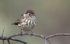 Speckled Warbler (Image ID 34865)