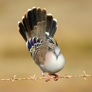 Crested Pigeon (Image ID 35021)