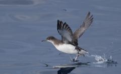 Fluttering Shearwater (Image ID 34954)
