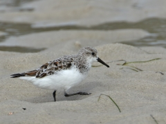 Red-necked Stint (Image ID 34957)