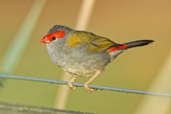 Red-browed Finch (Image ID 34750)