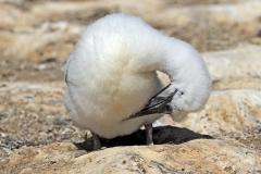 Australasian Gannet (Image ID 34847)