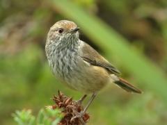 Brown Thornbill (Image ID 34955)