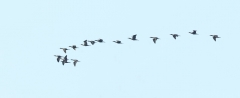 Little Black Cormorant (Image ID 34811)