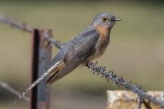 Fan-tailed Cuckoo (Image ID 35076)