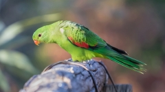 Red-winged Parrot (Image ID 35058)