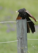 Pheasant Coucal (Image ID 35062)