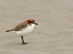 Red-capped Plover (Image ID 34946)
