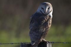 Barn Owl (Image ID 34834)