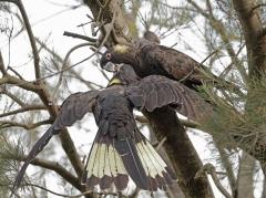 Yellow-tailed Black-Cockatoo (Image ID 34894)