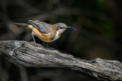 Eastern Spinebill (Image ID 35004)