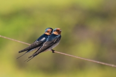 Welcome Swallow (Image ID 34769)