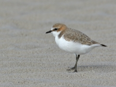 Red-capped Plover (Image ID 34945)