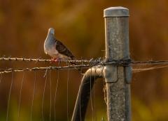 Bar-shouldered Dove (Image ID 34903)