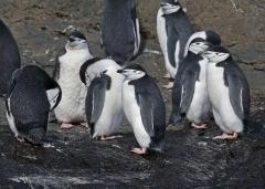 Chinstrap Penguin (Image ID 34870)
