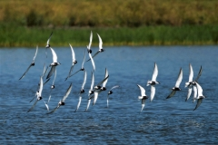 Whiskered Tern (Image ID 34707)