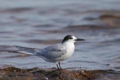 Common Tern (Image ID 34759)