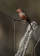 Crimson Finch (Image ID 35066)