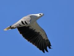 White-bellied Sea-Eagle (Image ID 34790)