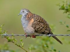 Bar-shouldered Dove (Image ID 34681)
