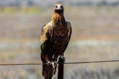 Wedge-tailed Eagle (Image ID 35331)