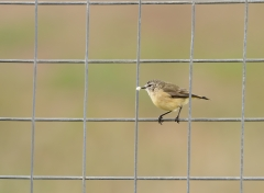 Yellow-rumped Thornbill (Image ID 35289)